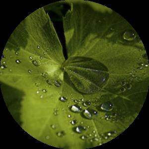 Alchemilla vulgaris - Frauenmantel